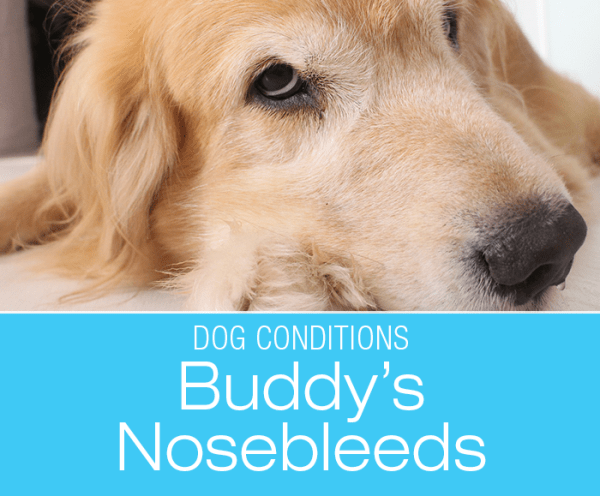 Nosebleeds in a Dog: Buddy's Nosebleeds. What Would You Do if It Was Your Dog?
