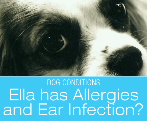 Excessive Scratching in Springer Spaniels: Ella Has Allergies and an Ear Infection? What Would You Do If It Was Your Dog?