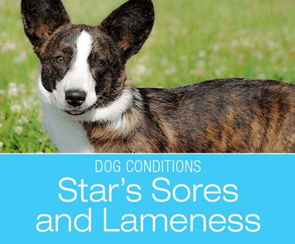 Sores and Lameness in a Dog: Is there a Connection between Star's Mysterious Lameness and Skin Issues?