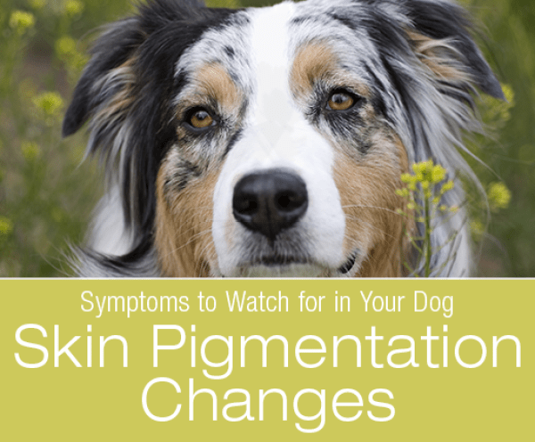 Dog Skin Pigmentation Changes: Why Has My Dog's Skin Changed Color?