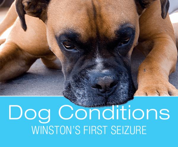 Really Angry Vet on Seizures: Winston's First Seizure