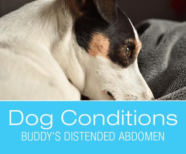 Splenic Tumors in Dogs: Buddy's Distended Abdomen.
