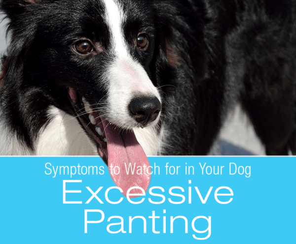 Symptoms To Watch For In Your Dog: Excessive Panting