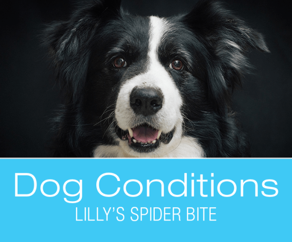 Spider Bites Dog Lilly S Story Lilly Is Famous For Being Bitten