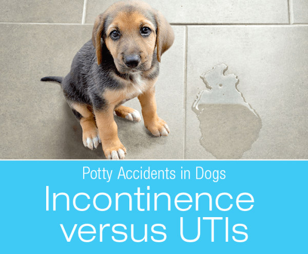 Urinary Accidents in Dogs: Incontinence versus UTIs
