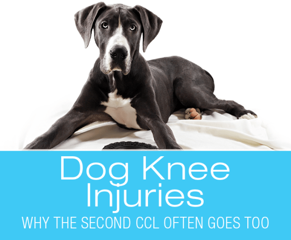 Dog Knee Injuries: One Thing Leads To Another—Why The Second CCL Often Goes Too