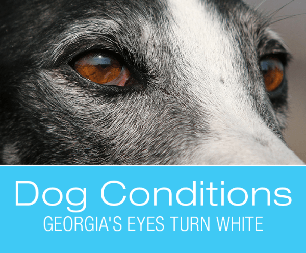 Cloudy Eyes in Dogs: Georgia's Eyes Turn White
