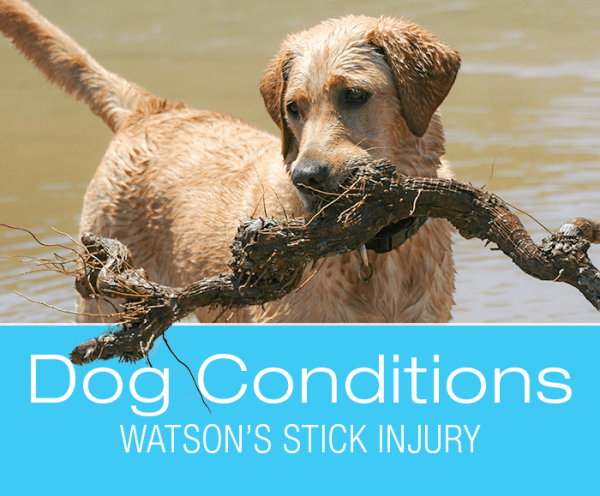 Stick Injuries in Dogs: Watson's Story