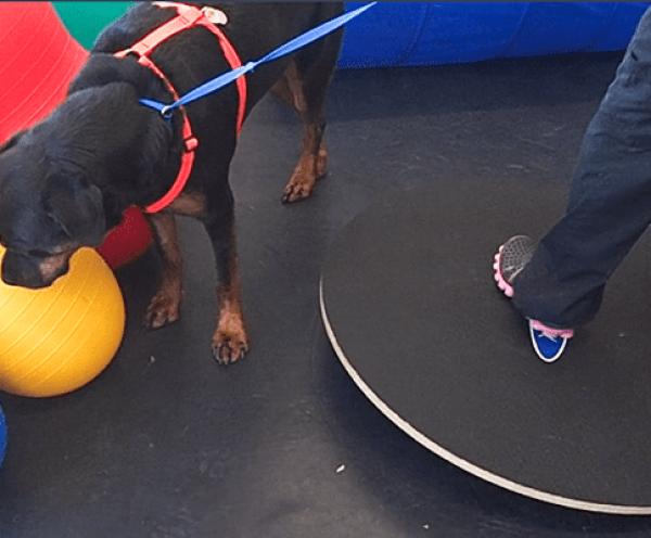 Vet Staff Dog-Handling Skills: Cookie has no interest in balance exercises