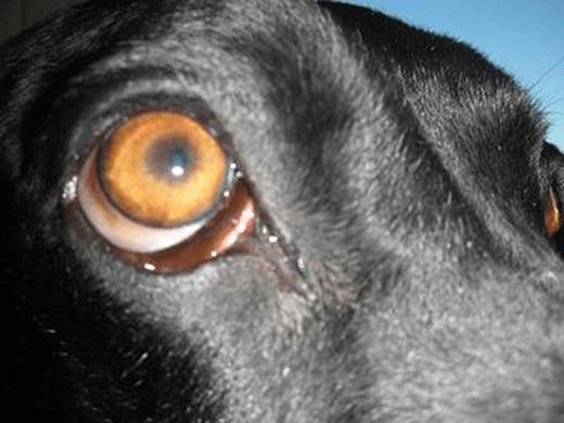 Bulging Eyes in Dogs: Extraocular myositi