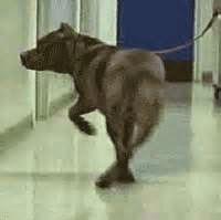 Canine gait: scissoring