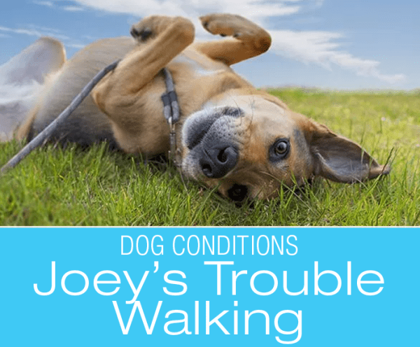 Trouble Walking in Dogs: Joey's Fast Decline. What Would You Do if It Was Your Dog?