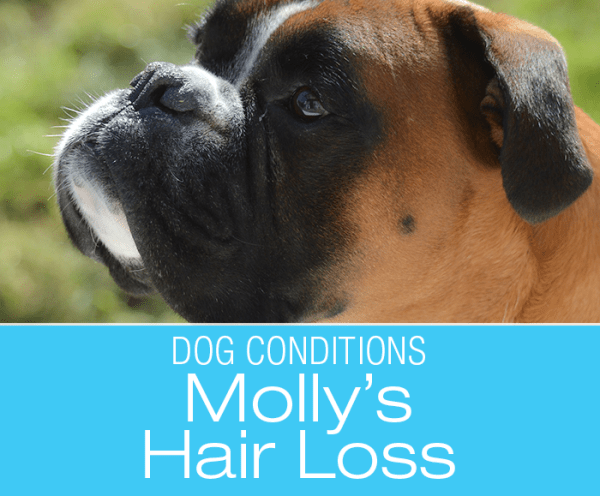 Hair Loss in a Boxer: Why Did Molly Start Going Bald?