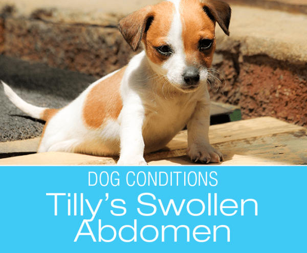 Swollen Abdomen in a Puppy: Tilly's Story