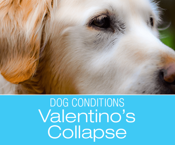 Why Could a Dog Collapse? Valentino's Story—What Would You Dog if it Was Your Dog?