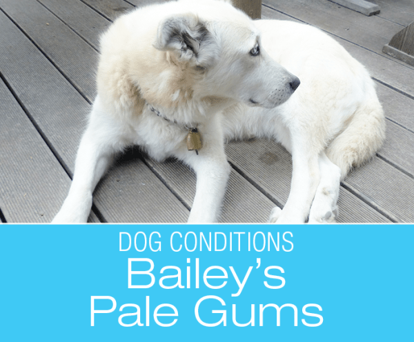 Pale Gums in a Dog: Bailey's Story