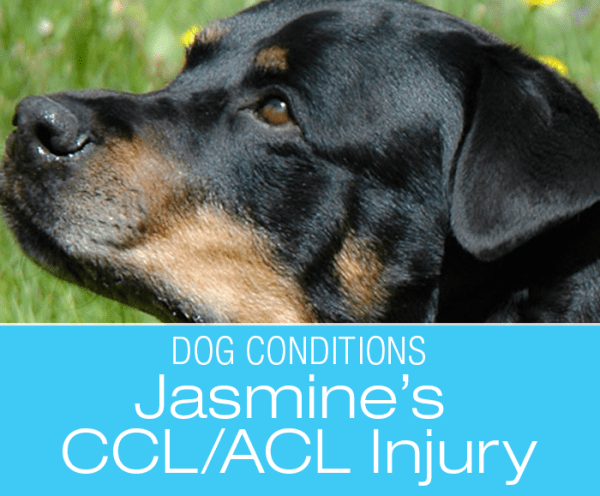 CCL/ACL Injury in a Rottweiler: How The Odyssey Started—Jasmine's ACL Injury