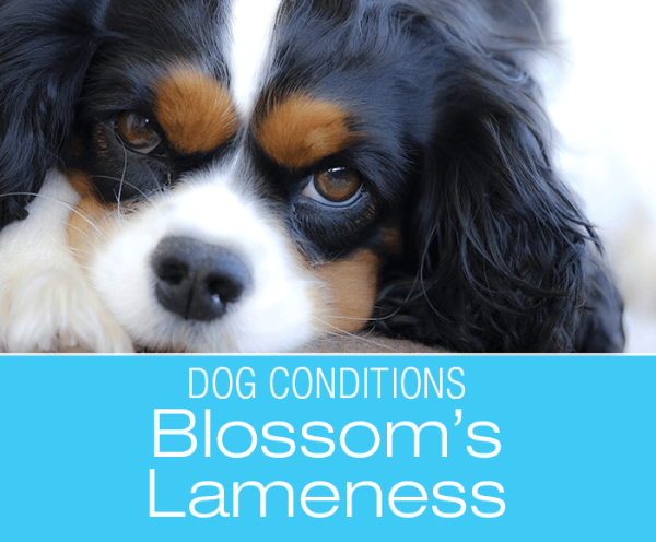 Limping Dog Causes: Blossom Becomes Lame