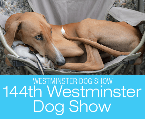 144th Westminster Dog Show: Featuring Youthful Dr. Pol and the ancient Azawakh!