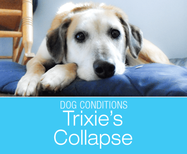 Dog Change in Behavior and Collapse: Trixie's Story