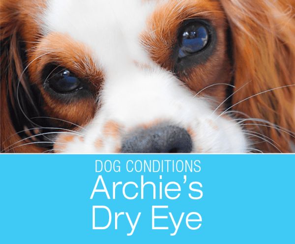 Dry Eye in a Dog: Keratoconjunctivitis Sicca (KCS)—Archie's Story