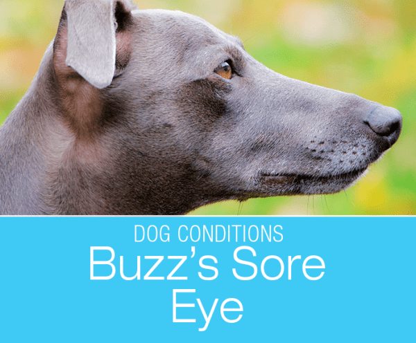 Eye Injuries in Dogs: Buzz's Story of a Sore, Red Eye. Canine eyes are incredibly vulnerable, and even the smallest injury can lead to serious trouble.