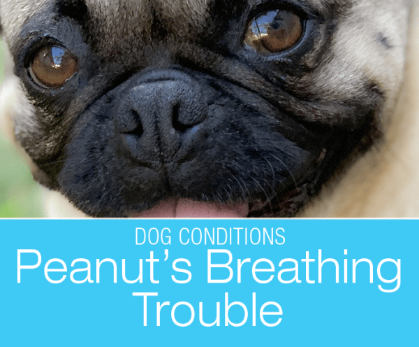 Respiratory Distress in a Dog: Peanut's Breathing Trouble and Collapse
