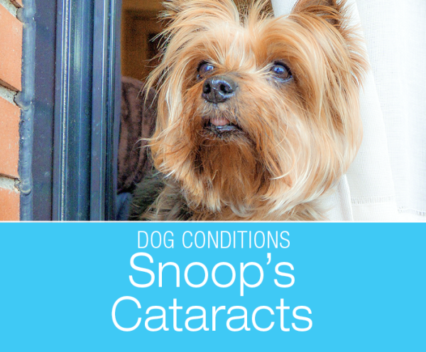 Cataracts in a Dog: Snoop Goes Blind in Both Eyes. Do you know what can cause your dog to go blind, and can you do anything about it?