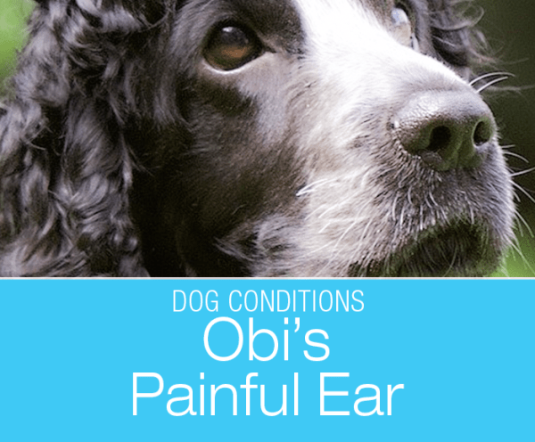 Acute Ear Pain in a Dog: What Caused Obi's Severely Painful Ear?
