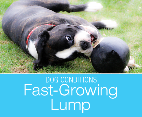 Fast-Growing Lumps in Dogs: Yuki's Swelling. Discovering a lump on your dog is a scary business. Fortunately, not all lumps are tumors.