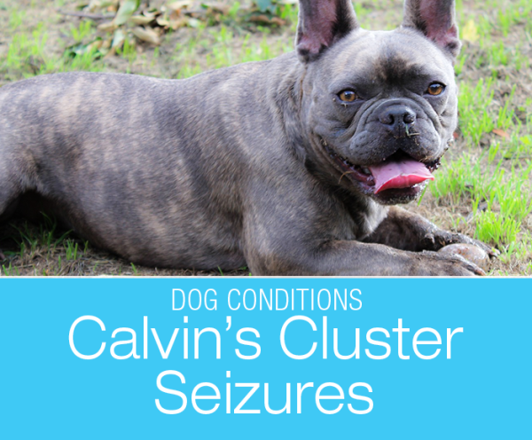 Senior Dog Cluster Seizures: Do you know what is the most common cause of seizure onset in senior dogs?
