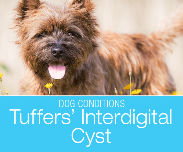 Interdigital Cyst in a Dog: Tuffers' Swelling Between Toes/Pododermatitis