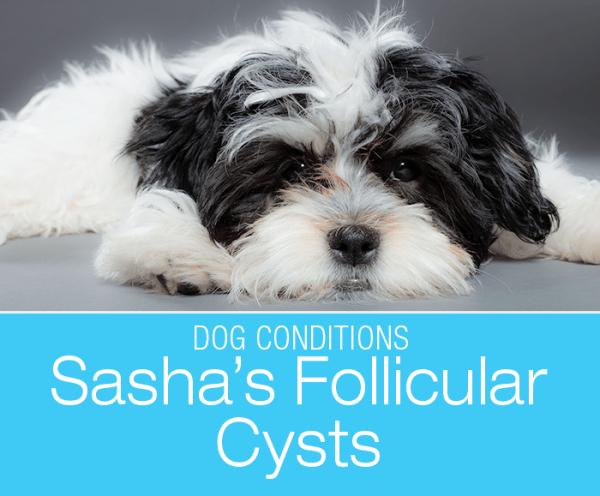 Follicular Cysts in a Dog: Sasha's Skin Growths
