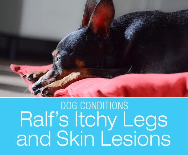 Canine Papilloma Virus: Ralf's Itchy Legs and Skin Lesions