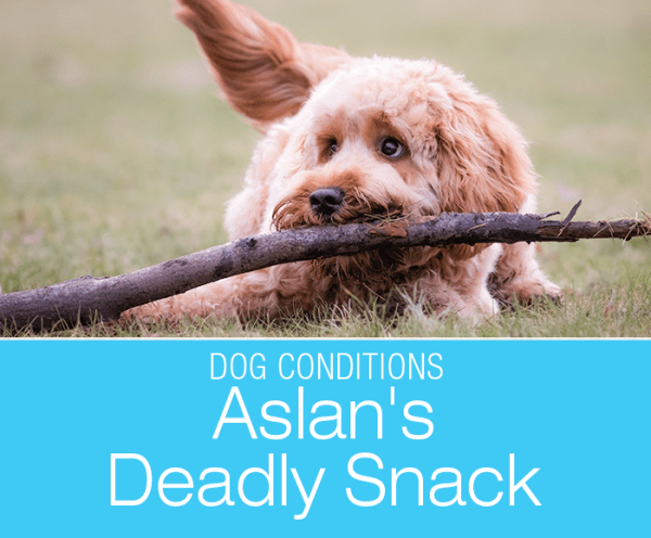 Canine Xylitol Poisoning: Aslan's Deadly Snack