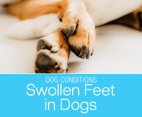 Swollen Feet in Dogs: Why Are My Dog's Feet Swollen?