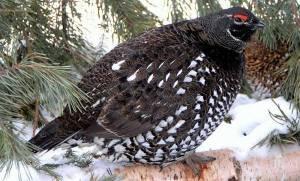"У сибирских угров тетерев назывался ""улэм уи"" - птица сна."