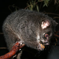 http://perthzoo.wa.gov.au/animals-plants/australia/nocturnal-house/western-ringtail-possum/ringtail-possum/