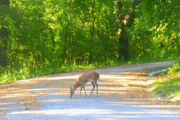 A deer nibbles on a back road.