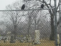 Crows at the cemetery