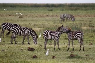 Zebras at Lake Manyara National Park
