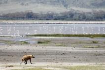 Hyena and Flamingos
