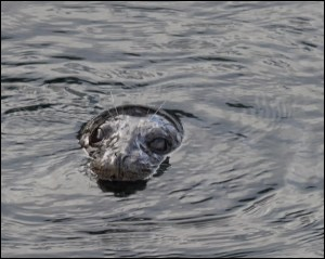 From LeRoy Van Hee, a seal seen fishing inside the Edmonds Marina breakwater Friday.