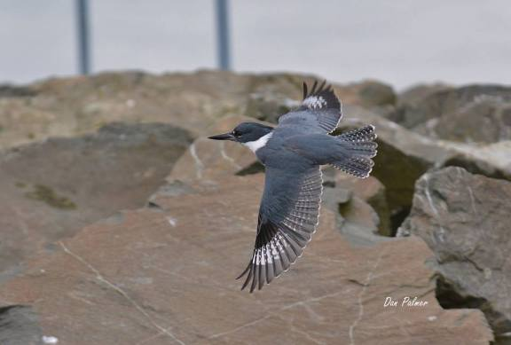 Resident Belted Kingfisher buzzing the marina.