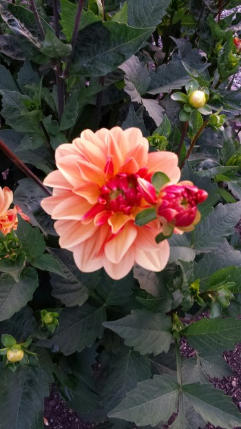 From Jim and Judy Clark. Have a photo of dahlias, the City of Edmonds' official flower, you'd like to share? Email to teresa@myedmondsnews.com.