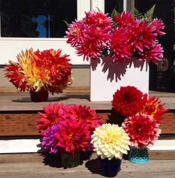 "From Gaye and Peter Hinchcliffe, who sent this earlier this month but we missed it so are posting now. Says Gaye: ""All summer long we have dahlia bouquets placed throughout the house. We love them. So many beautiful colors! Thanks for posting the photos from everyone!"""