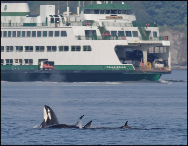 From LeRoy VanHee, a whale frolicking next to the Edmonds-Kingston ferry Monday morning.
