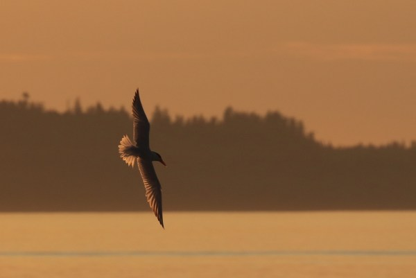From Bill Anderson: Monday's sunset and Caspian tern in flight, taken from Sunset Avenue.
