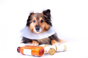Sick Sheltie or Shetland sheepdog with dog cone collar and medicine bottles in the foreground (NOT ISOLATED)
