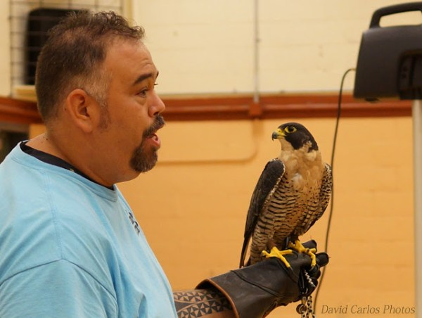 A staff member holds a peregrine falcon. These falcons can dive 200 miles per hour. They also have a kean sense of vision, seeing prey a mile away. In captivity, they can live up to 25 years; in the wild they live up to 15 years.